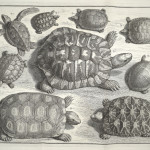 Monochrome engraving of different tortoises